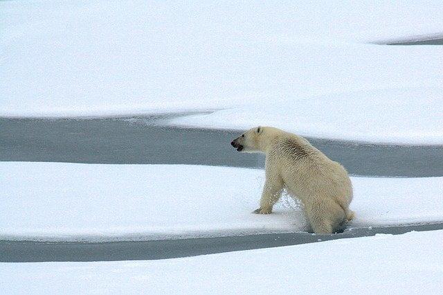 Estinzione: a rischio orsi polari e squali