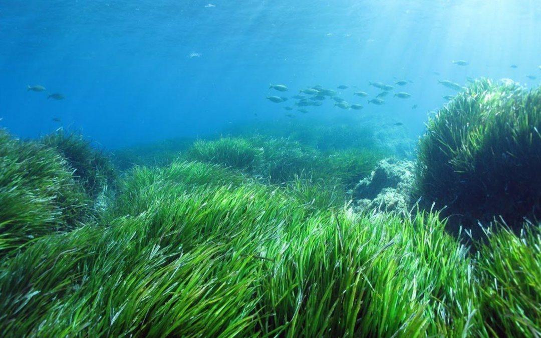 La pianta marina che combatte la plastica: la Posidonia oceanica