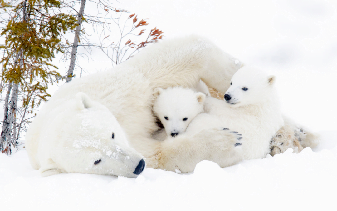 Orso polare: la Giornata Mondiale che dovrebbe far riflettere