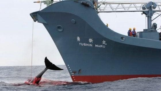 Balene, il Giappone riapre la caccia annuale